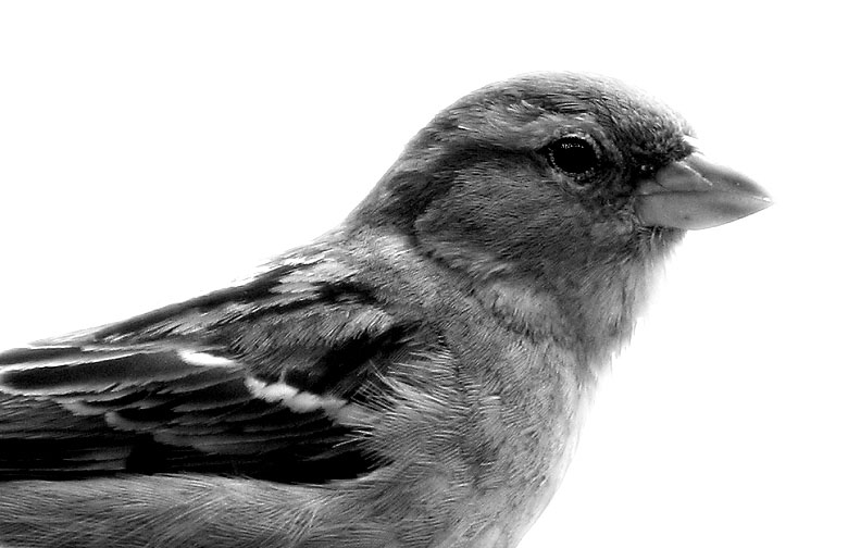 Sparrow In Black And White