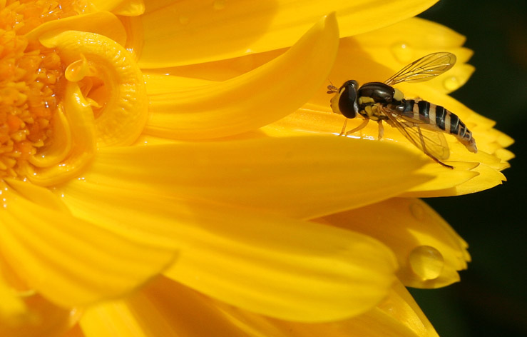 Hoverfly Haven