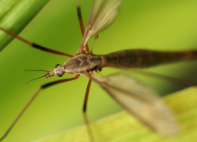 Just Your Ordinary Crane Fly