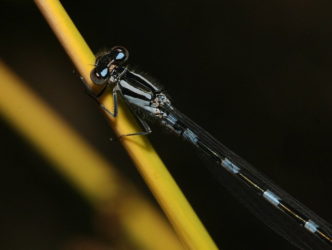 Diagonal Damselfly