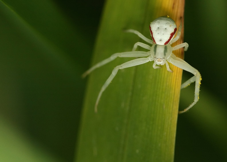 Crab Spider In Green and Red