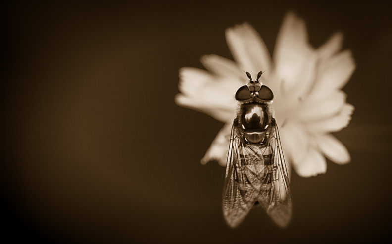 Hover Fly, Antiqued